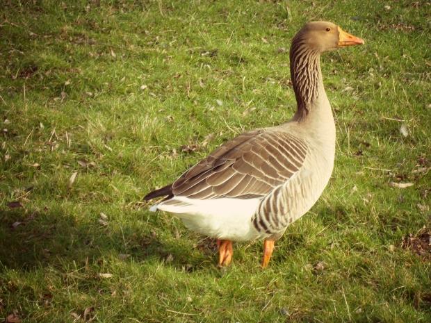 bookworm_duck