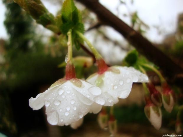 bookworm_raindropsblossoms4